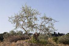 Free Olive Tree Stock Photography - 15528292