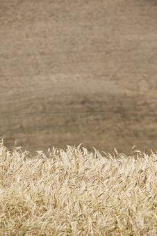 Free Wheat Royalty Free Stock Image - 15528336