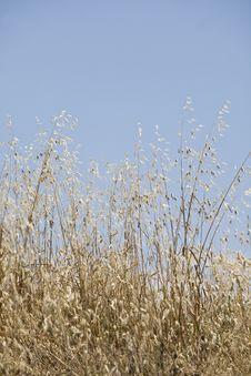 Free Wheat Stock Photography - 15528352