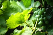 Free Bunch Of Grapes Royalty Free Stock Images - 15529879