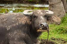 Free Water Buffalo Stock Image - 15529901