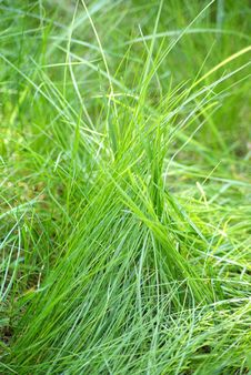 Free Grass Royalty Free Stock Photography - 15529967