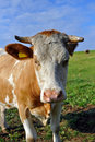 Free Cow Royalty Free Stock Images - 15530429
