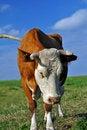 Free Cow Royalty Free Stock Photo - 15530435