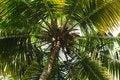 Free Coconut Tree Royalty Free Stock Photography - 15534277