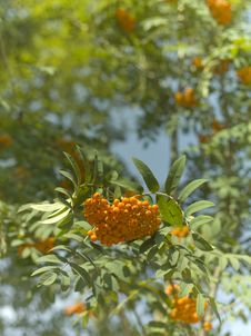 Free Rowanberry Royalty Free Stock Image - 15530496