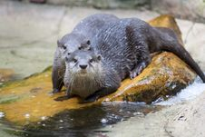 Free Asian Small-Clawed Otters Royalty Free Stock Photo - 15531165