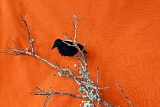Free Halloween Raven On A Dead Branch Royalty Free Stock Photo - 15531235