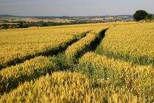 Free Barley Field Stock Images - 15531604