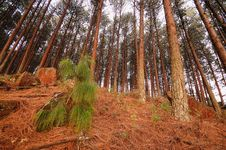 Conifer Trees Royalty Free Stock Photography