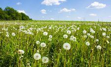 Free Dandelions In Field Stock Photo - 15531860