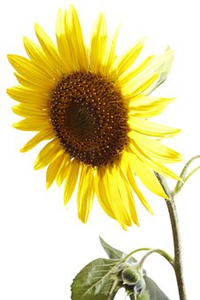 Free Sunflower Royalty Free Stock Image - 15532016