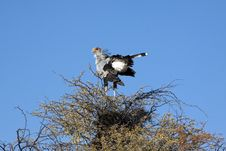 Free A Male Secretary Bird Stock Photos - 15532123
