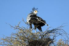 Free A Male Secretary Bird Royalty Free Stock Photography - 15532277