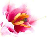 Free Lily Closeup Stock Photos - 15532773