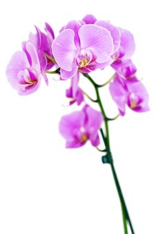 Free Beauty Orchid Royalty Free Stock Image - 15533576