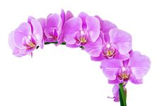 Free Beauty Orchid Royalty Free Stock Photography - 15533587