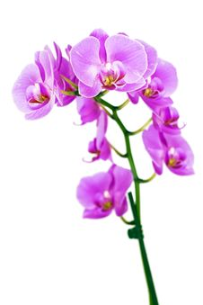 Free Orchid Royalty Free Stock Image - 15533606