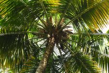 Free Coconut Tree Royalty Free Stock Photography - 15534277