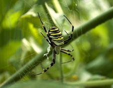 Spider Argiope Bruennichi Stock Photography