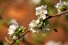 Free Apple Blossom Royalty Free Stock Photography - 15538307