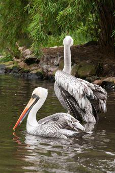Cute Pelicans Stock Photos