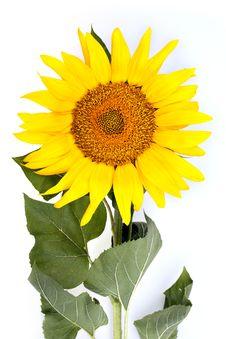 The Beautiful Sunflower Royalty Free Stock Photo