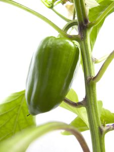 Free Green Pepper Stock Images - 15538664
