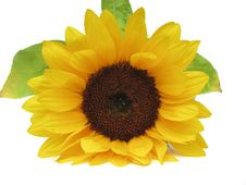 Free Sunflower Royalty Free Stock Image - 15538686