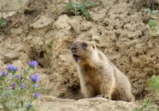 Young Marmot Royalty Free Stock Photo