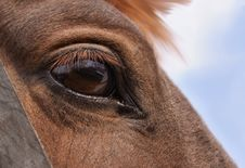 Free Horse S Eye Stock Photography - 15539232