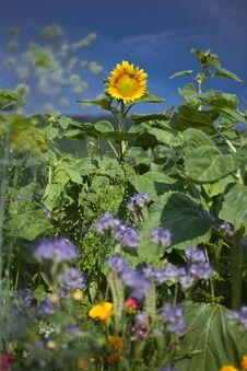 Free Sunflower Stock Photography - 15539372