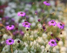 Free Purple Daisies Royalty Free Stock Images - 15539829