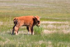 Free Bison Calfs Stock Photography - 15539862