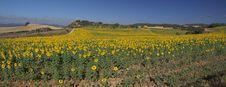 Free Sunflowers Stock Photo - 15539870