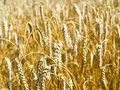 Free Wheat Royalty Free Stock Image - 15546106