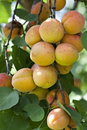 Free Fresh Ripe Apricots Royalty Free Stock Photo - 15549915