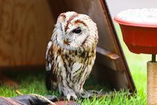 Free Tawny Owl Stock Photos - 15540253