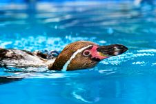 Free Penguins Royalty Free Stock Photography - 15540557