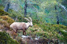 Free Ibex In Chamonix Stock Image - 15540581