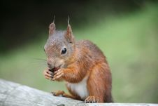 Free Squirrel Royalty Free Stock Images - 15540759