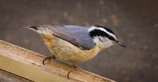 Free A Red-breasted Nuthatch Closeup Stock Images - 15541514