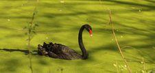 Free Black Swan Stock Image - 15541561