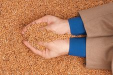 Free Crop Wheat Royalty Free Stock Photography - 15542277
