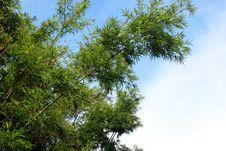 Free Green Bamboo Tree Royalty Free Stock Photo - 15542455
