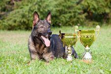 Free German Sheepdog Royalty Free Stock Image - 15542476