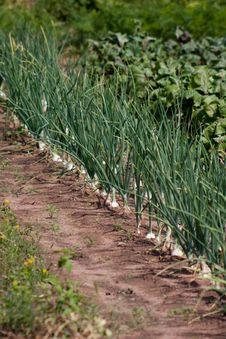 Organically Grown Onions Royalty Free Stock Photo