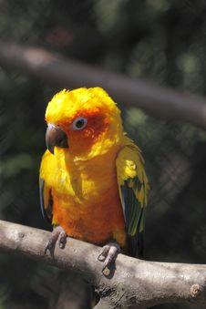 Sun Parakeet Royalty Free Stock Photography