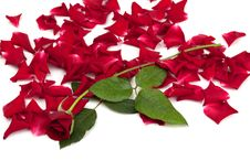Free Red Roses And Rose Petals Stock Images - 15544604