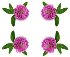 Free Flowerses Rose Dutch Clover Royalty Free Stock Photos - 15545188